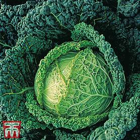 cabbage endeavour f hybrid winter savoy
