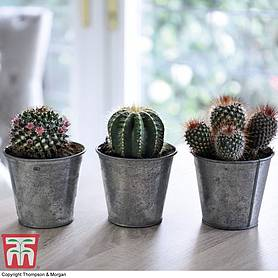 Cactus Mix (House Plant)