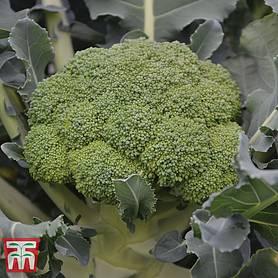 Kings Seeds 25 Seeds Broccoli Burbank