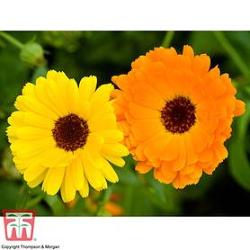 calendula officinalis fiesta gitana mixed