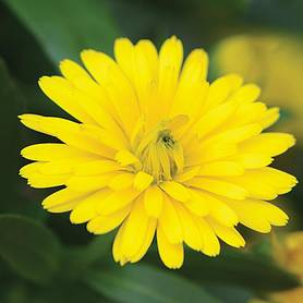 calendula power daisy yellow