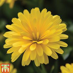 calendula power daisy collection