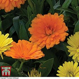 calendula power daisy orange