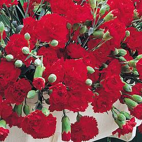 dianthus caryophyllus trailing carnations mixed