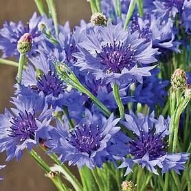 cornflower blue diadem