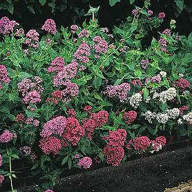 centranthus star ruber mixed