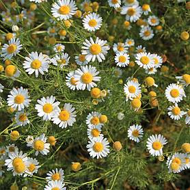chamomile wild or german