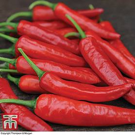 chilli pepper big devil hot