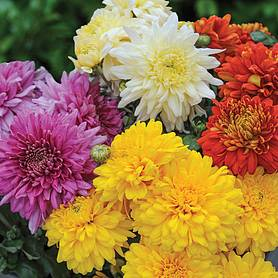 chrysanthemum decorative mixed