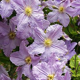 clematis blekitny aniol