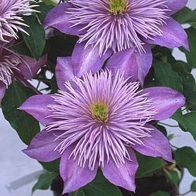 clematis crystal fountaintrade evipo
