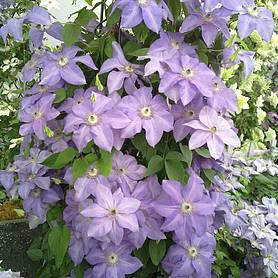 clematis shimmertrade evipo