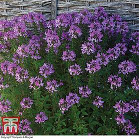 cleome kelly rose