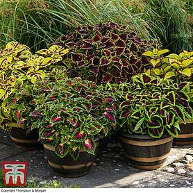 coleus freaky leaves collection