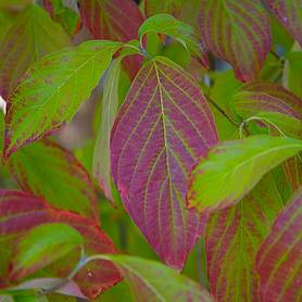 common dogwood hedging