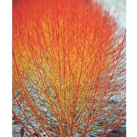 cornus sanguinea winter flame