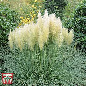 cortaderia selloana white
