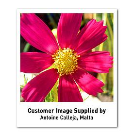 cosmos bipinnatus gazebo mixed