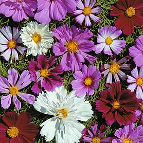 cosmos bipinnatus double all sorts mixed