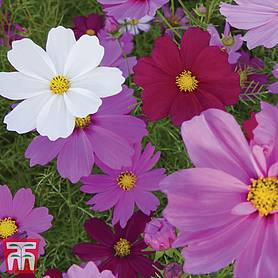 cosmos bipinnatus sensation mixed