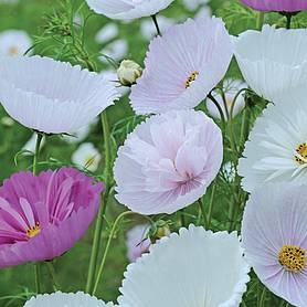 cosmos bipinnatus cupcakes and saucers mix garden ready