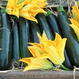 courgette british summertime f hybrid