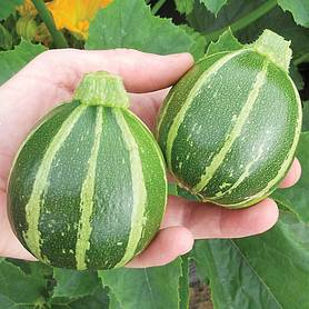 courgette eclipse f hybrid