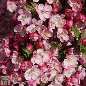 crab apple coralburst