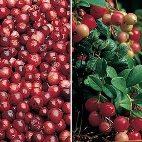cranberry  lingonberry collection
