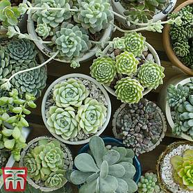 crassula mixed house plant