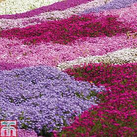 phlox collection creeping