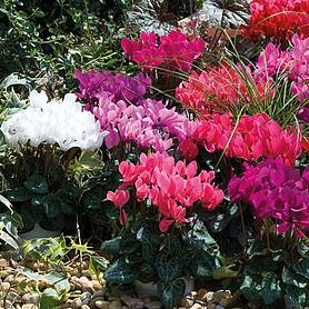 cyclamen smartiz mix