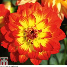 dahlia lubega power yelloworange