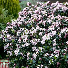 Mature evergreen shrubs for sale uk