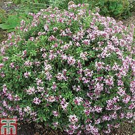 Daphne x transatlantica pink fragrance plants thompson morgan daphne x transatlantica pink fragrance mightylinksfo