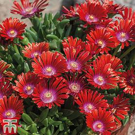 delosperma sundella collection
