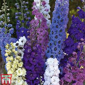 delphinium rising stars mixed