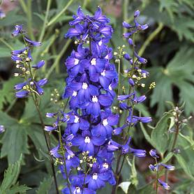 delphinium blue bird pacific hybrid