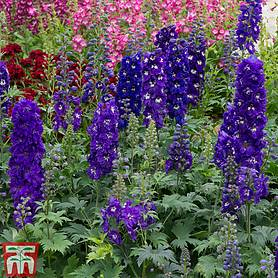 delphinium dark blue  white bee