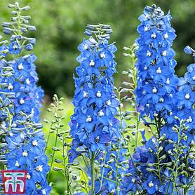 delphinium summer skies pacific hybrid