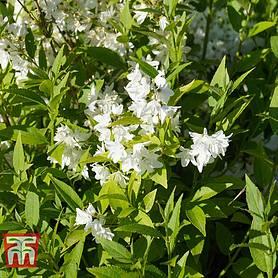 Deutzia /'Strawberry Fields/' Garden Flower Plant 1 x 9cm Pot Hardy Shrub T/&M