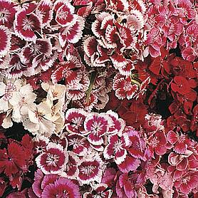 dianthus barbatus indian carpet mixed