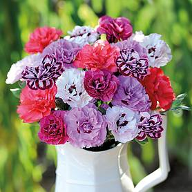 dianthus scents of summer collection
