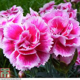 dianthus odessa easy pink