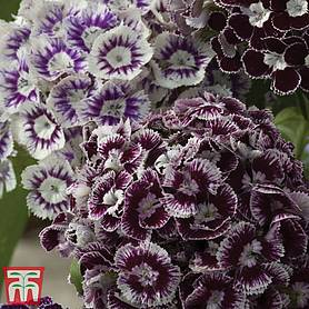 dianthus barbatus  purple crown