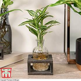 dracaena sanderiana victory in bottle  stand house plant