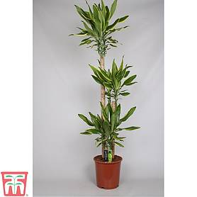 dracaena fragrans golden coast house plant