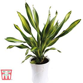 dracaena fragrans house plant
