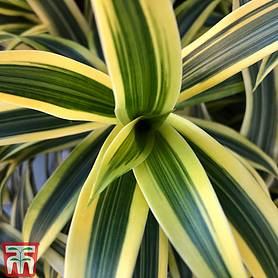 dracaena fragrans deremensis group lemon lime house plant