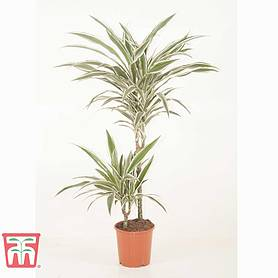 dracaena fragrans deremensis group white stripe house plant